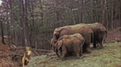 1964: Pack of elephants eating food in eastern USA forest habitat. Stock Footage