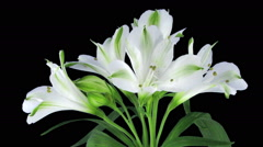 Growing, opening and rotating white Peruvian lily in RGB + ALPHA matte format Stock Footage