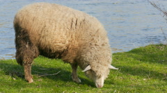 Sheep is grazing on a pasture near the Poprad river in Poland Stock Footage