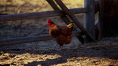 Chicken Livestock in horse corral western Ranch USA Stock Footage