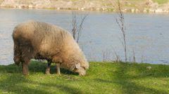 Sheep grazing on a pasture Stock Footage