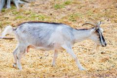 Beautiful gray goat on a dry straw Stock Photos
