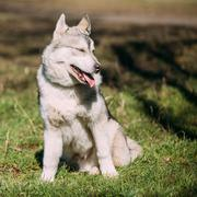 Young Happy Gray Husky Puppy Eskimo Dog Sitting In Green Grass P Stock Photos