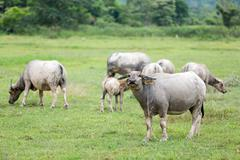 buffalo machine of farm. Mammal animal - stock photo