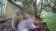 A friendly grey squirrel eating a strawberry in a park in Brighton, Uk. Stock Footage