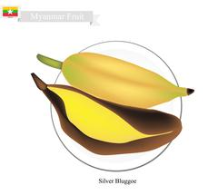 Silver Bluggoe Bananas, A Popular Fruits in Myanmar - stock illustration