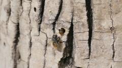 Red Mason Bee Near The Tree - stock footage
