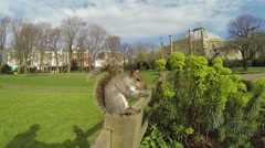 A friendly grey squirrel eating a nut on a fence in a park in Brighton, Uk. Stock Footage