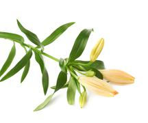 Yellow lily lilium flower isolated - stock photo
