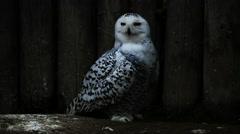 Snowy owl - nyctea scandiaca Stock Footage