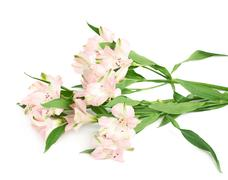 Pile of alstroemeria flowers Stock Photos