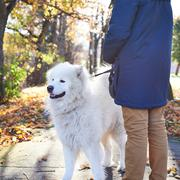 Walking Arctic Spitz Samoyed dog outdoors Stock Photos