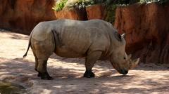 White rhinoceros - ceratotherium simum Stock Footage