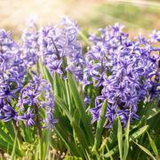 Blooming beds of hyacinths smells delicious. sun rays - stock photo