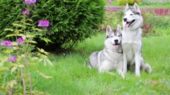 Two beautiful Husky dog on grass next to bush in park. Stock Footage