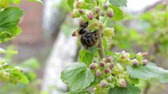 Bumblebee pollinating currants Stock Footage