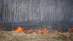 Dry grass burning in forest on glade among birches. Stock Footage