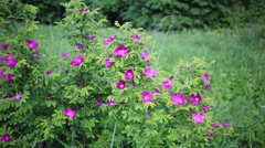 Bushes of dogrose flowers among green grass and trees in park. Stock Footage