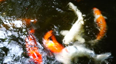 Koi fish feeding Stock Footage