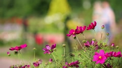 Several crimson cosmos flowers in flowerbed close up in park. Stock Footage