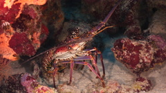 Underwater - reef - crayfish - crawfish - Diving - Curacao - Caribbean - 4K - stock footage