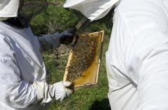 Inspecting honey bees - stock photo