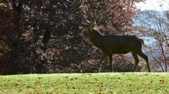 Bellowing red deer stag stepping in grassland during the rut in autumn Stock Footage