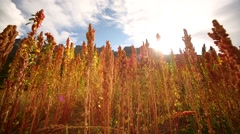 Quinoa field in Peru, South America Stock Footage