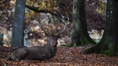 Red deer (Cervus elaphus) stag resting in beech forest in autumn - stock footage