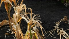 Corn field was damaged by drought. Stock Footage
