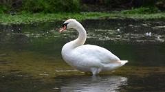 Mute swan (Cygnus olor) preening feathers Stock Footage