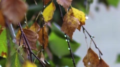 Dried leaves of autumn birch moved by the wind and cold rain falling incessantly Stock Footage