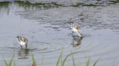 Two pied avocet chicks foraging in shallow water of salt marsh Stock Footage
