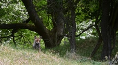 Red fox (Vulpes vulpes) foraging in grassland at forest's edge Stock Footage