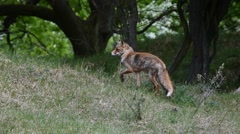 Panning shot of red fox (Vulpes vulpes) leaving grassland and fleeing in forest Stock Footage