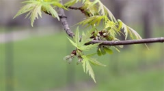 Maple Leaves and Fruits Stock Footage