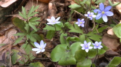 Anemone hepatica in a forest - slow panorama 4K. Stock Footage