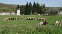Flock of sheep eating green grass on field, sunny day, cattle graze, wide angle. Stock Footage