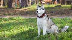 Siberian husky  sits in the shade of pine trees. Stock Footage