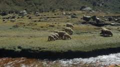 Sheep grazing near riverbank, Peru - stock footage