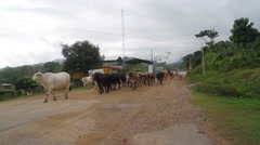 Herd of cattle walking on road, Rio Platano Biosphere Reserve Stock Footage