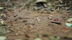Close-up of fire ant, Rio Platano Biosphere Reserve Stock Footage