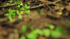 Fire ant carrying leaves, Rio Platano Biosphere Reserve Stock Footage