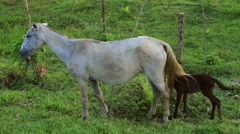 Horse and foal grazing in field, Rio Platano Biosphere Reserve Stock Footage