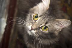 Close-up grey cat with big yellow eyes Stock Photos