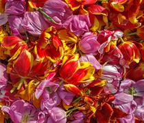 background cut wilted tulips - stock photo