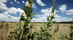 The wheat field overgrown with weeds Stock Footage