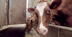 Agriculture, automatic feeding red holstein cows eating dolly shot in the barn Arkistovideo