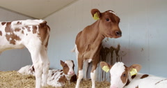 Agriculture europe, Red Holstein calfs Stock Footage