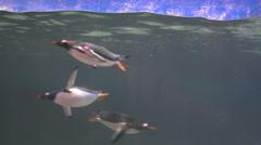 Penguins swimming in aquarium Stock Footage